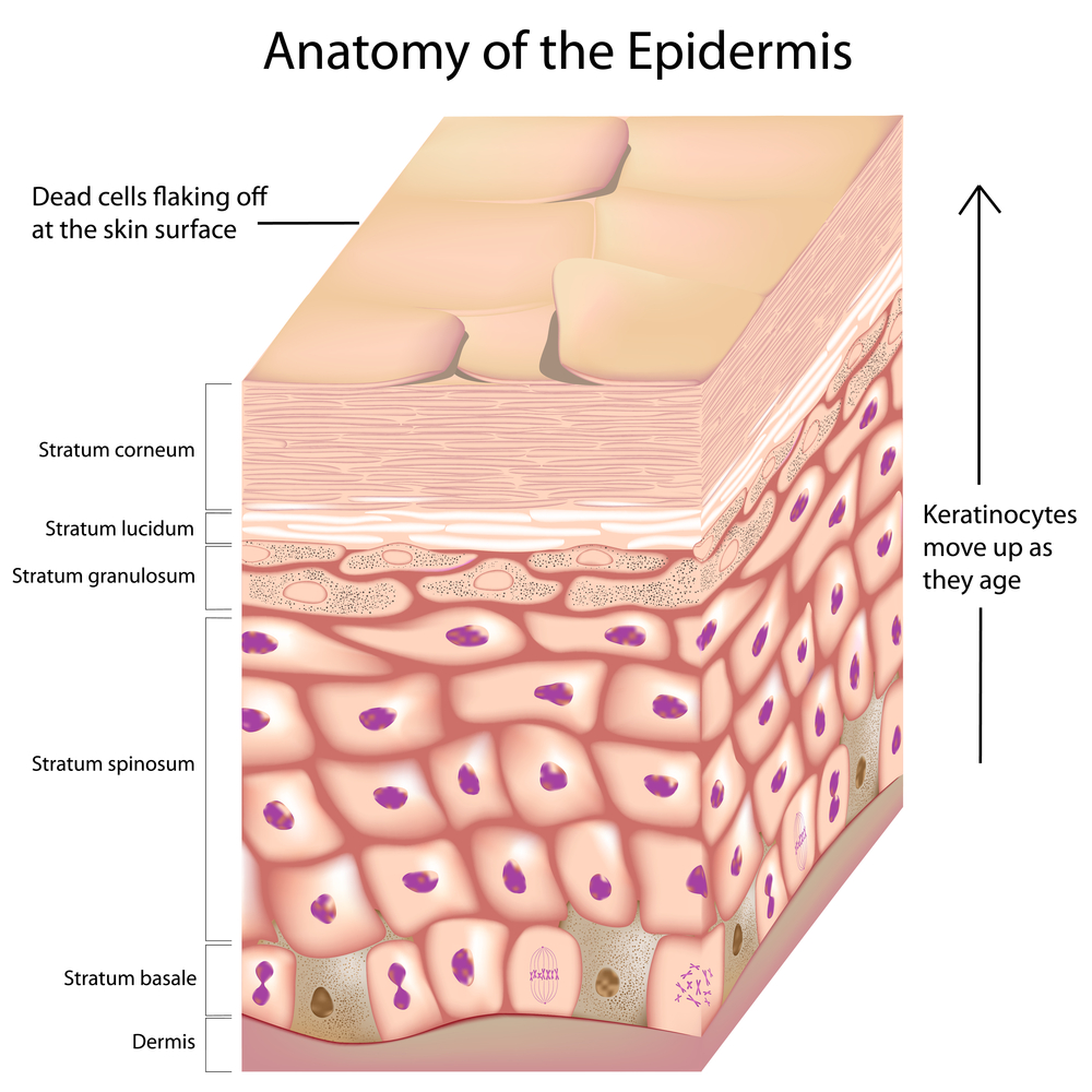... parts of body) Stratum granulosum Stratum spinosum Stratum basale